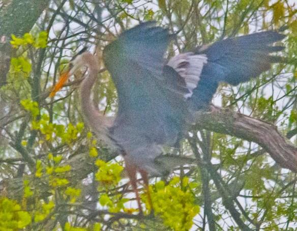 Great Blue Heron 2021-25