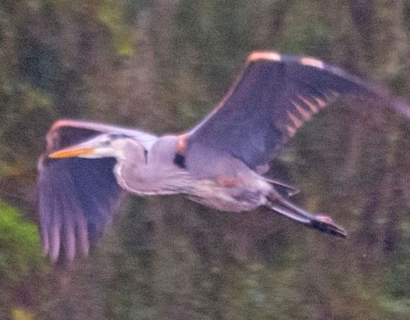 Great Blue Heron 2021-28