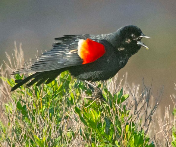 Red Winged Blackbird 2020-5