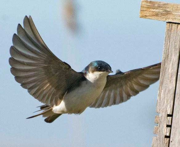 Tree Swallow 2021-10 (3)