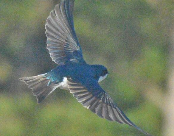 Tree Swallow 29021-3