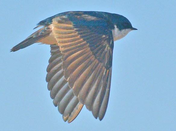 Tree Swallow 29021-8