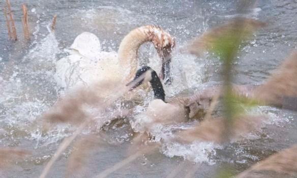 Trumpeter Swan 2021-23