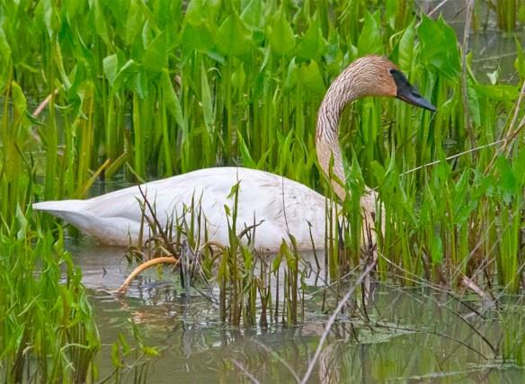 Trumpeter Swan 2021-35