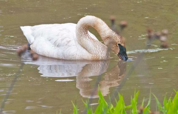 Trumpeter Swan 2021-36