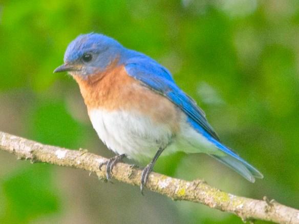Eastern Bluebird 2020-46