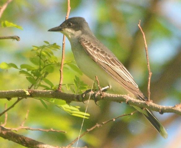 Eastern Kingbird 2020-2