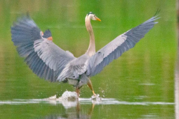 Great Blue Heron 2021-82
