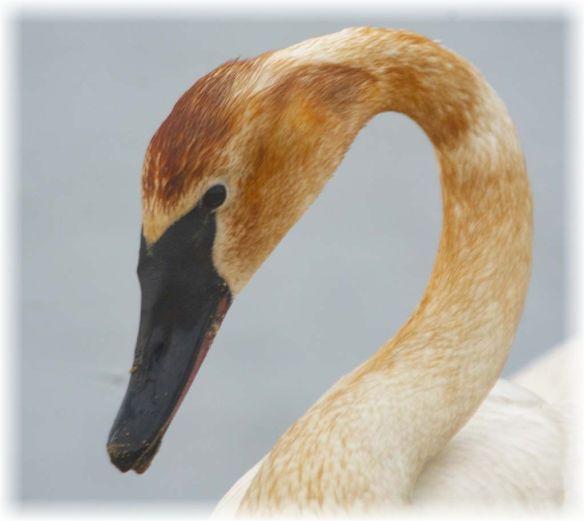 Trumpeter Swan 2021-85