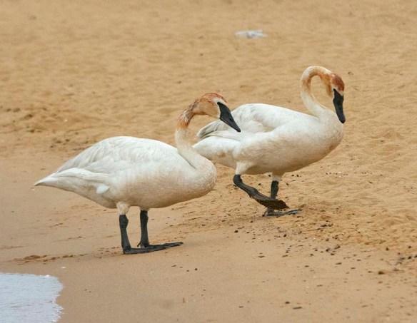 Trumpeter Swan 2021-86