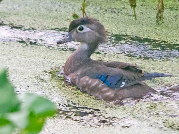 Wood Duck 2021-137