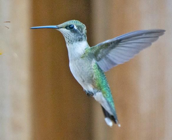 Ruby Throated Hummingbird 2021-1