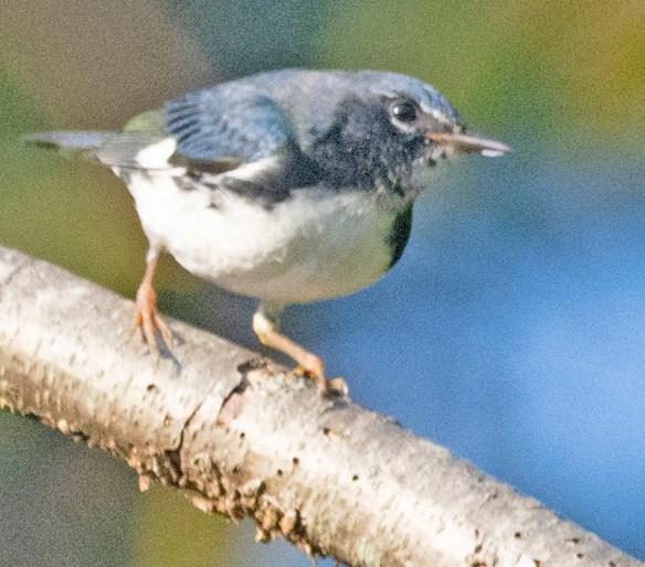 Black Throated Blue Warbler 2021-3