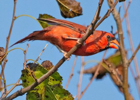 Cardinal 2021-58