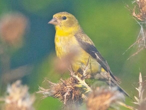 Goldfinch 2021-11