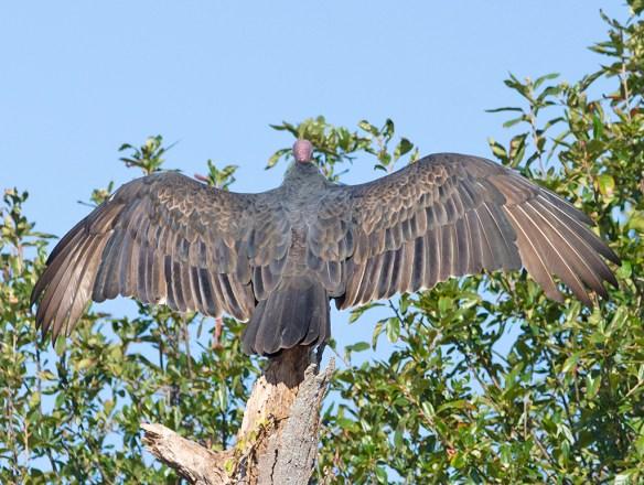 Turkey Vulture 2021-5