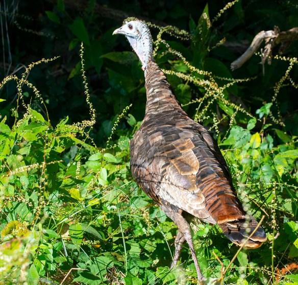 Wild Turkey 2021-3