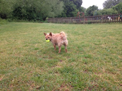 Dog with yellow tennis ball