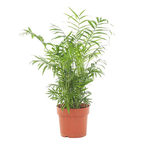 Mexicaanse Bergpalm (Chamaedorea Elegans) - P 17 cm