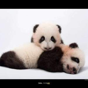 Komar Giant Panda 2 Kunstdruk