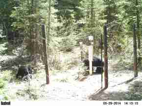 A black bear and her cub investigating our monitoring gear