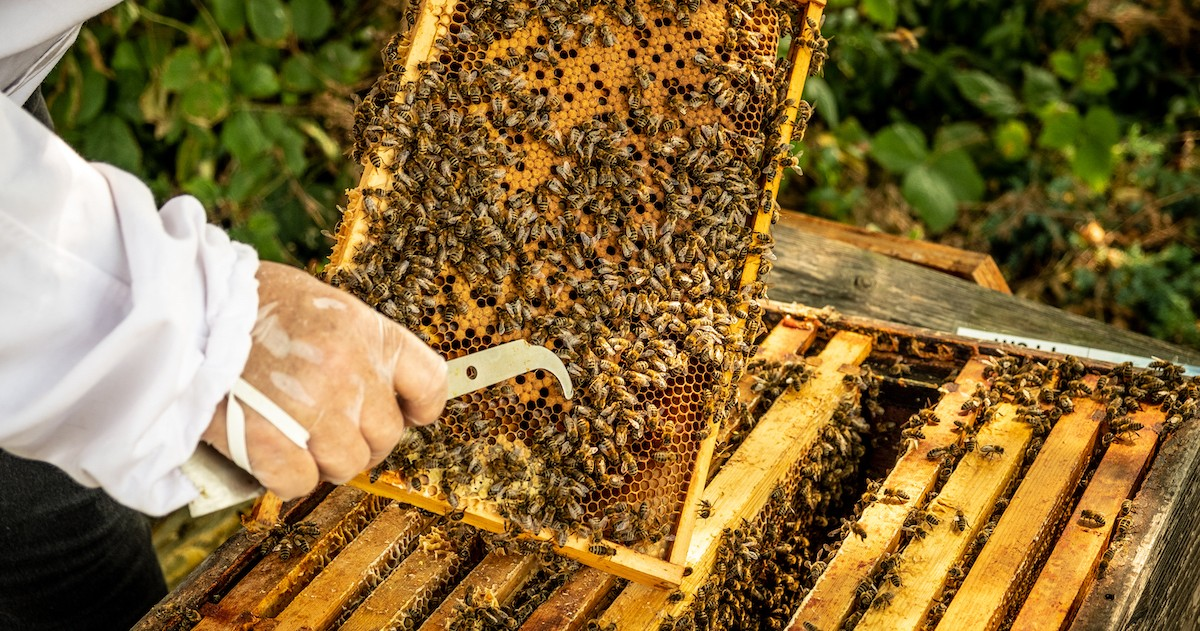 Close up of beekeepers hands removing honey from a hive