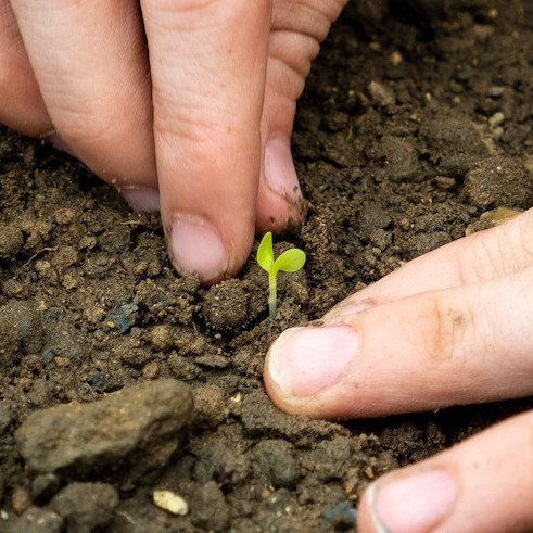 Detail of two hands tending to a small plant