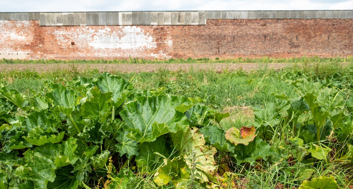 Photo shows food growing against a faded red brick wall.
