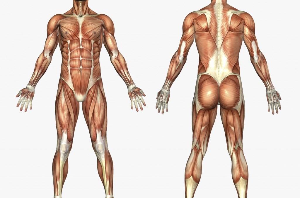 Unser Körper – was hält uns aufrecht? | Human-Harmonie