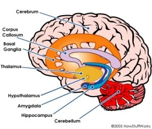 Parts Of The Brain | Position, Job, Anatomy, Conditions ...
