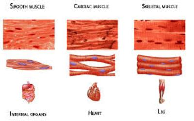 Types of the muscular system,muscular system,muscles