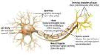 Neuron, nervous system