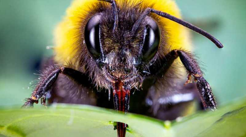 Bumblebees damage plant leaves in a way that speeds up flower production
