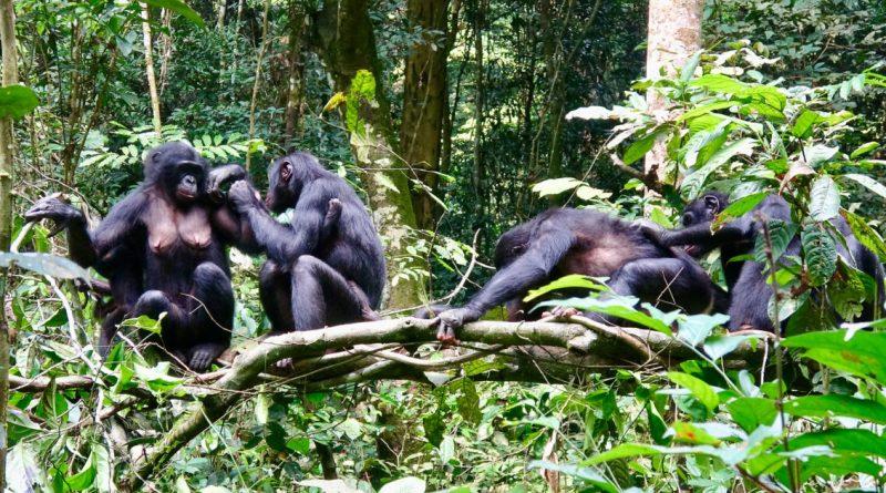 Bonobo prey
