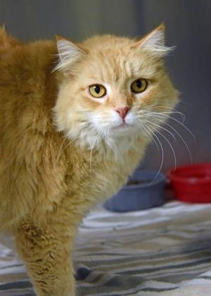 Pumpkin Pie is a beautiful 6-year-old kitty at he Humane Society of the Nature Coast. Won't you come into her life and give her a loving fur-ever home?