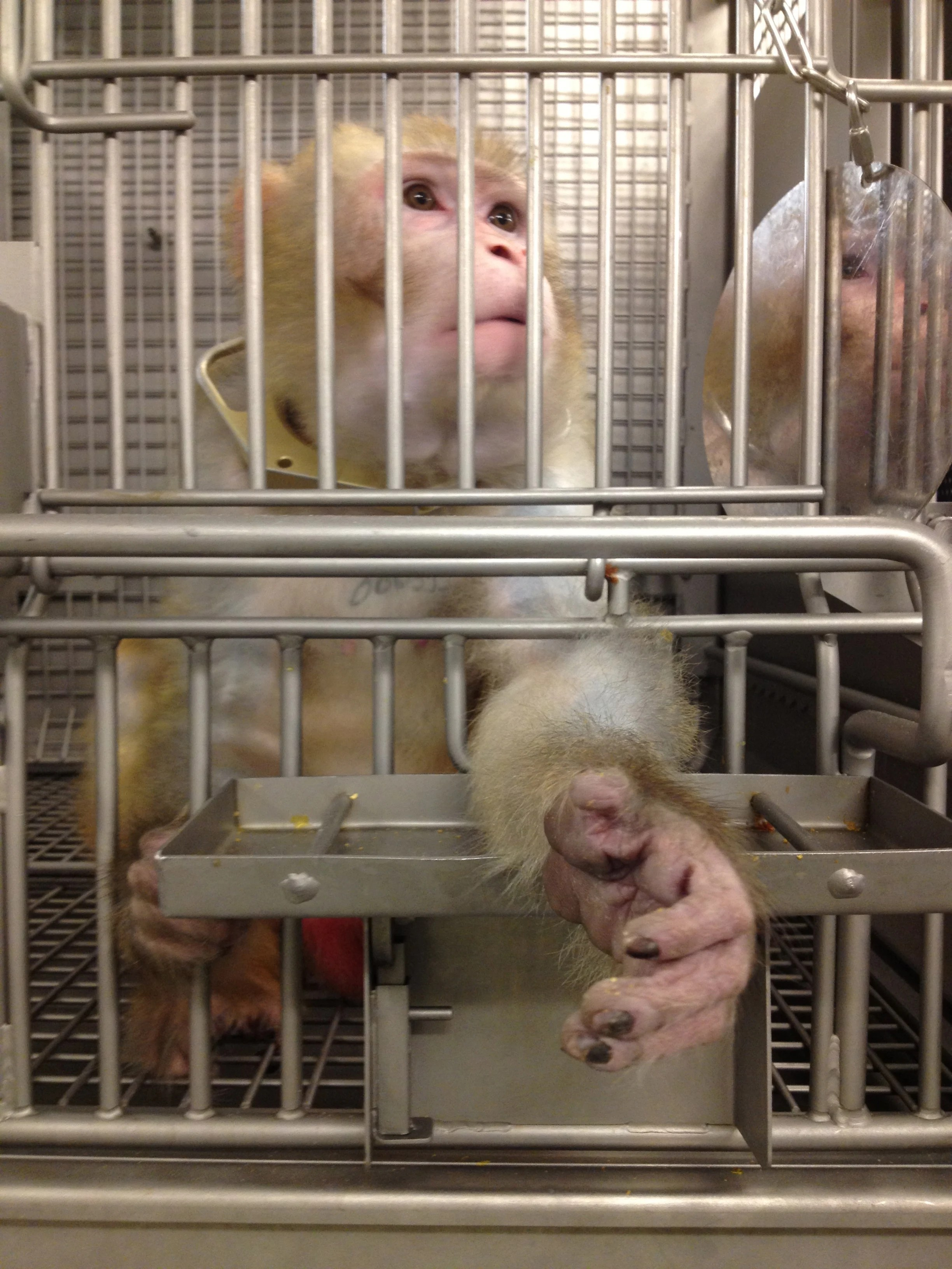 This is a photo of a macaque, imprisoned in a bare cage, and extending her hand out of the bars.