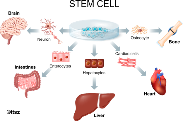The human cells and organs that can be made from adult stem cells include heart, liver, and nerves