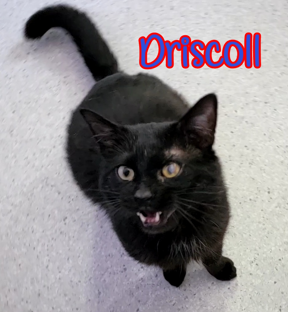 Driscoll: Male, DOB 02/04/2020. Driscoll is a sweet guy that is pretty laid back. He enjoys affection as well as play time. Driscoll would do well in any home environment.