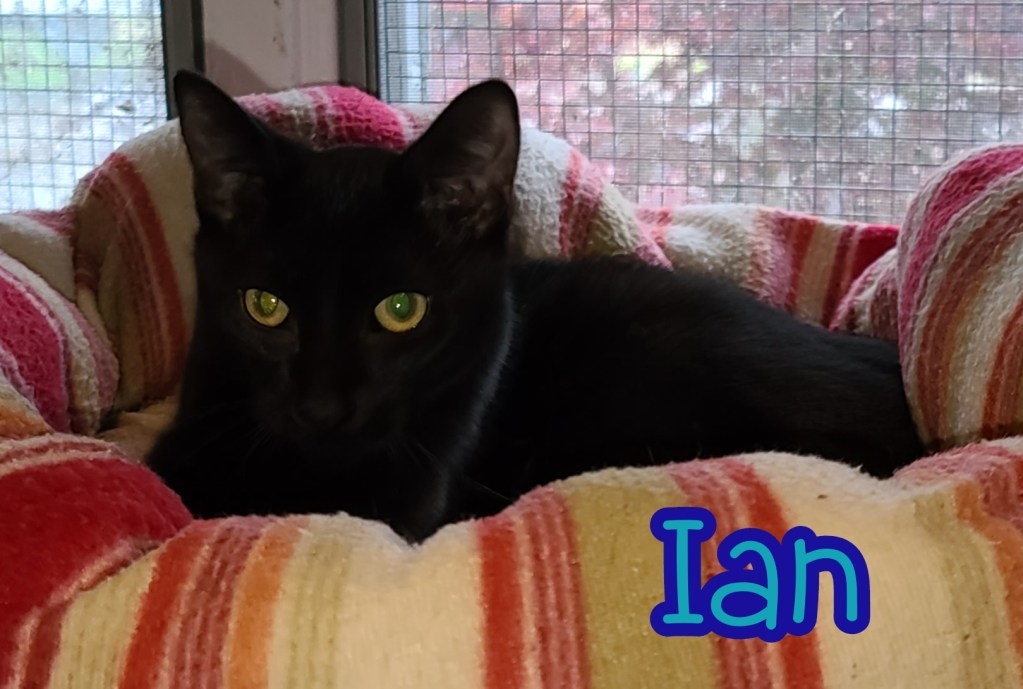 Ian, Male, DOB 07/01/2020. This handsome mini panther has the shiniest coat and is the most easy going youngster! Ian would do well in just about any home.