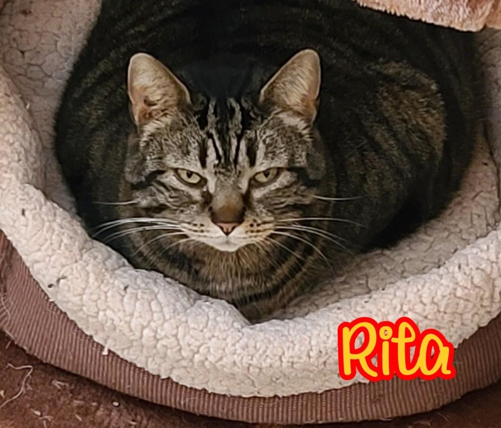 Rita-Female Tabby, DOB 09/18/17. Rita has a grumpy face but is actually very sweet. She enjoys long naps near a window. Rita will do well in any home environment.