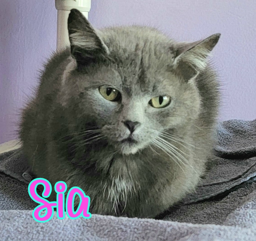 Sia: Female, Solid Gray. DOB 09/01/2020. Sia is a petite and very sweet kitty. She enjoys affection and hanging out with her people. Sia will do well in just about any home type.