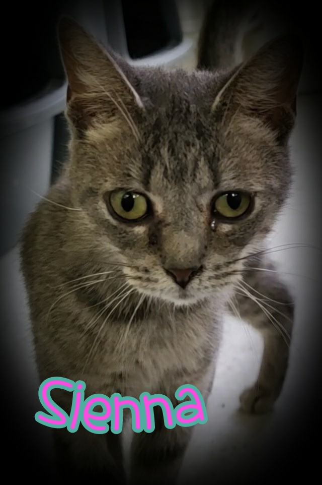 Sienna, Female light gray/silver Tabby. DOB 10/30/2019. This young lady spent almost her whole first year of life outside but she isn't feral so we are looking for a forever indoor home for her. Sienna is really laid back and gets along with everyone she meets. Would do well in any home.