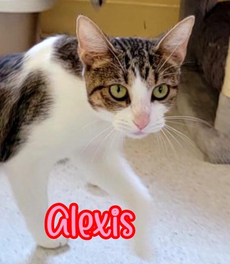 Alexis: Female Tabby & White DOB: 09/18/19