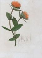 """Ilustração em """"Nova genera et species plantarum [...]"""" . Arquivo Digital da Brasiliana USP, http://www.brasiliana.usp.br/node/1102"""