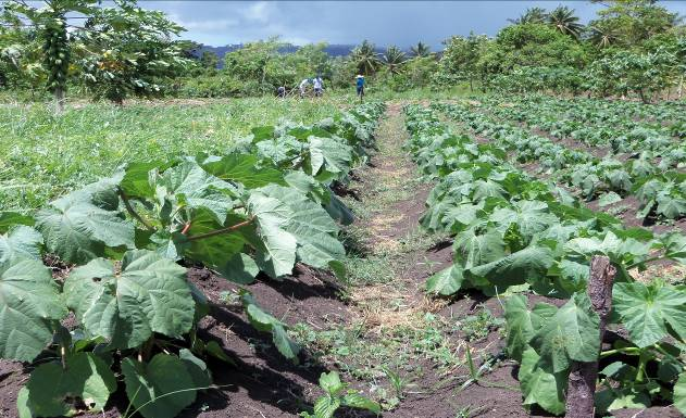 Row of okra at World Concern's agricultural training center (outdoor classroom) in southern Haiti.
