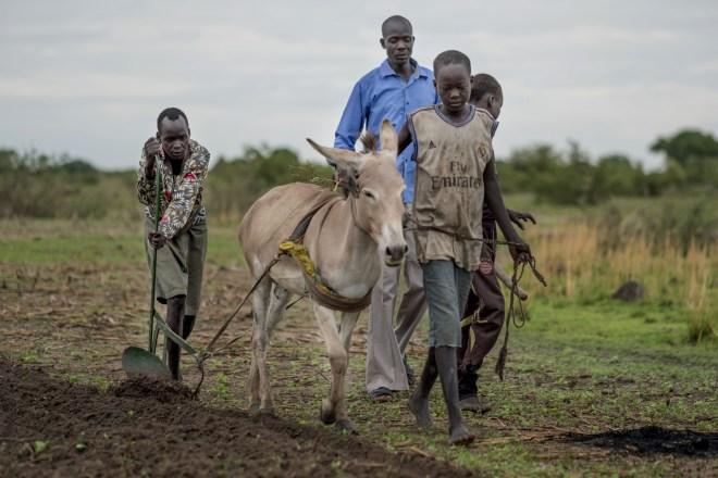 four men lead a donkey to plow a field