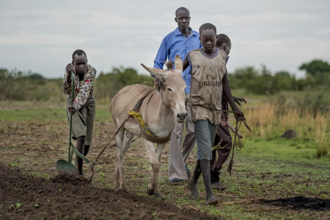 four men lead a donkey to plow a field