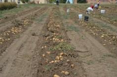 Potato harvest 3