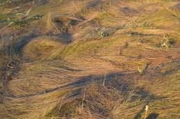 Wind blown prairie grass.