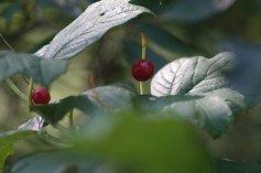 Red ear rings